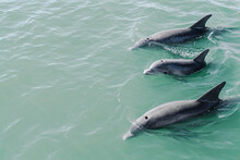 Dolphins Swimming Near Surface
