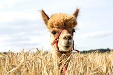 Portrait Of Alpaca Standing In Barley Field