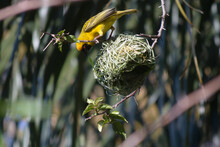 Southern Masked Weaver Or Yellow Finch Building A Nest