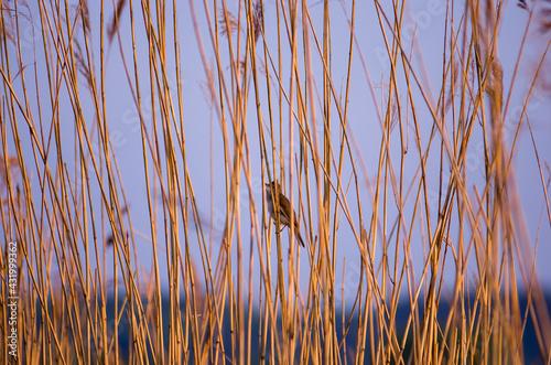Fototapeta Mały  ptaszek bujający się na smukłej trzcinie rosnącej na podmokłych terenach  obraz