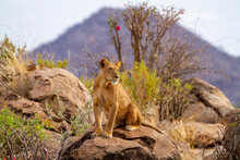 """Lion Lioness """"Panthera Leo"""" Sits On Rocky Outcrop In Samburu National Park, Kenya, Africa. Big Cat Spotted On African Safari Vacation. Green Bush And Mountain Beyond"""