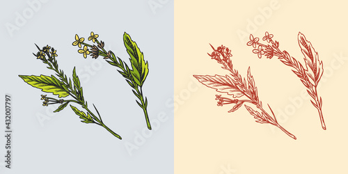 Mustard plant. Spicy condiment. Harvest concept. Illustration for Vintage background or poster. Engraved hand drawn sketch. - fototapety na wymiar