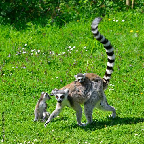 Naklejka premium Carré lémurien maki catta petits sur le dos