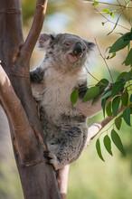 The Koala, Phascolarctos Cinereus, Is An Arboreal Herbivorous Marsupial Native To Australia. T