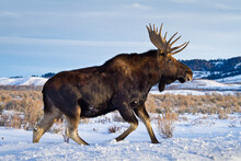 A Bull Moose Walks In A Snow-covered Antelope Flats In Grand Teton National Park, Wyoming.