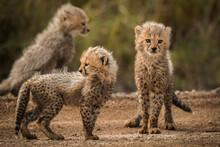 Three Cheetah Cubs At Play In The Masai Mara National Park, Kenya.
