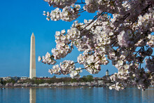 Cherry Blossoms Frame The Washington Monument, Blooming Around The Tidal Basin In Washington, DC
