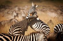 Two Zebras Fight For Dominance In The Masai Mara, Kenya.