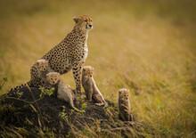 A Cheetah Mother And Her 4 Cubs Survey The Grasslands Of The Masai Mara, Kenya.