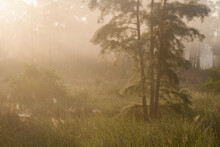 Cypress Trees And Wetland In Corkscrew Swamp Sanctuary, Naples, Florida.