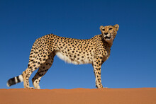 Cheetah Walking Along Stops And Stands At The Crest Of A Sand Dune. Taken In Namibia Near The Namib Naukluft National Park.