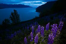 Purple Lupin (Lupinus Sp.) Flowers In A Meadow On Bird Ridge, Overlooking Turnagain Arm, In Chugach State Park, Alaska.