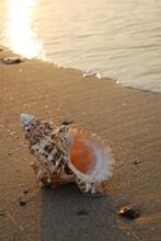 A Single Murex Shell Sits At The Edge Of The Sea, Sanibel Island, Florida