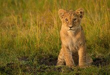A Lion Cub Sits On The Plains Of The Masai Mara, Kenya.