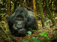 A Silverback Mountain Gorilla Relaxes On The Forest Floor And Takes In His Surroundings.