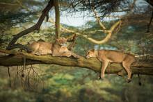 Two Lions Spend The Afternoon Resting In A Tree In Lake Nakuru, Kenya.