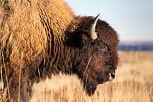 A Bison Walks Through The Grasslands Of Theodore Roosevelt National Park, North Dakota.