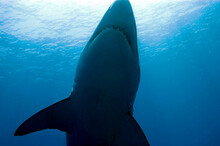 A Great White Shark In The Waters Of Isla Guadalupe, Mexico