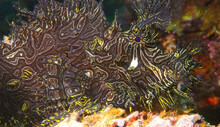 Profile Of A Black And Yellow Rhinopias Scorpionfish Taken In PNG.