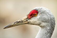 George C. Reifel Migratory Bird Sanctuary, British Columbia, Canada: A Portrait Of A Sandhill Crane's Face.
