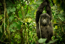 A Young Mountain Gorilla Swings From A Vine In Volcano National Park, Rwanda.