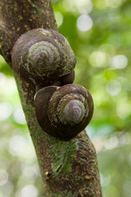 Two Tree Snails (Caracolus Caracolla) Copulate In Puerto Rico, Aos El Yunque National Forest.