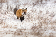 A Red Fox Listens Through The Snow For A Potential Meal In Churchill, Manitoba, Canada.