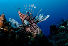 A Lionfish Taken In Turks & Caicos.