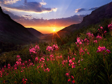 Fireweed Flowers, San Juan Mountains National Forest