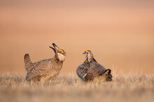 Two Male Greater Prairie Chicken (Tympanuchus Cupido) Square Off In A Territorial Conflict On A Display Ground, Or Lek, In The Nebraska Sandhills.