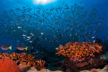 Mexico, Baja California, Sea Of Cortez. Coral Reefs And A School Of Fishes At Natural Protected Reserve Of Cabo Pulmo.