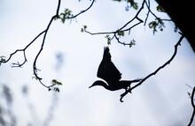 Anhinga (Anhinga Anhinga) Birds Silhouetted On Wiry Tree Branches On The Island Of Ometepe In Southern Nicaragua.