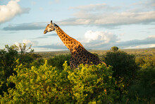 A Giraffe Grazing At Sunset At Tarangire National Park In Tanzania