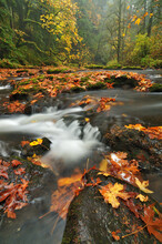 Big Leaf Maple Leaves Present A Colorful Autumn Scene In The Columbia River Gorge.