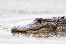 An American Alligator (Alligator Mississippiensis) Rests In Muddy Water In Big Cypress National Preserve.