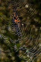 An Orb-weaving Spider In Southern California.