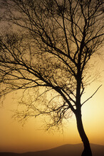 A Birch Tree Without Leaves At Sunset, Covelo De Geres, Paradela, Peneda-Geres National Park, Portugal.