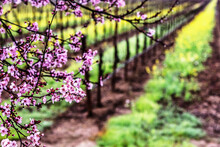 Plum Tree Blossoms And Vineyard In Sonoma County.