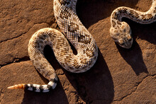 A Texas Rattlesnake Is Captured In A Unique Position Creating A Defining Graphic Line.