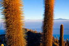 Details Of Cactus On The Island Incahuasi In The Salar De Uyuni Salt Flat In South-western Bolivia.