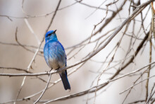 A Rocky Mountain Bluebird Sits Perched In A Cottonwood Tree Branch In Grand Teton National Park, Wyoming.