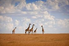 Giraffes Walking On The Grassy Plains Of The Masai Mara, Kenya.