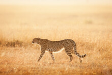 A Lone Cheetah Takes An Early Morning Walk In Search For Prey.