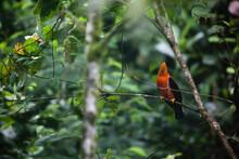 A Wild Cock-of-the-rock Tropical Bird Found On A Tree Limb In Ecuador.