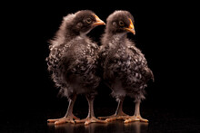 Young Hens Standing Together On A Black Background