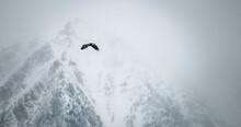 Bald Eagle Flying Over The Mission Valley, Montana.