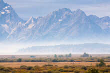 A Bull Elk Watches Over His Harem In Willow Flats Of Grand Teton National Park, Wyoming.