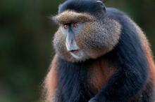 A Golden Monkey Portrait In Rwanda.