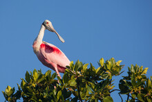 A Roseate Spoonbill In Breeding Plumage Sits Atop A Mangrove In Florida Bay Within Everglades National Park, Florida.