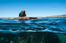 Harbor Seal At West Reef, San Clemente CA.